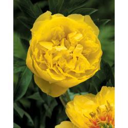 Sadzonka Kłącze Piwonia Yellow Crown