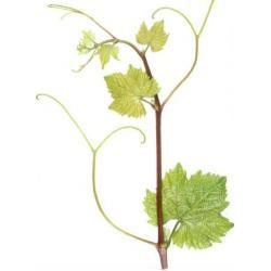 Sadzonka winorośli - BLAUBURGER