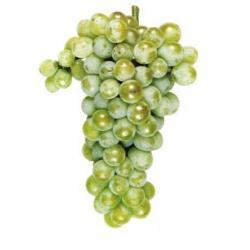 Sadzonka winorośli - SAUVIGNON BLANC
