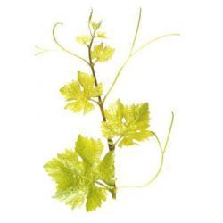Sadzonka winorośli - SCHEUREBE