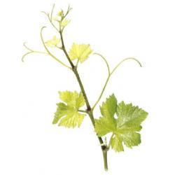 Sadzonka winorośli - SANKT LAURENT