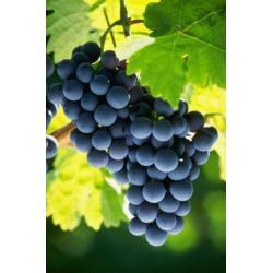 Sadzonka winorośli - JAPANA