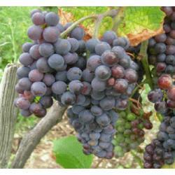 Sadzonka winorośli - NERO