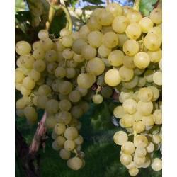 Sadzonka winorośli -PÖLÖSKEI MUSKAT