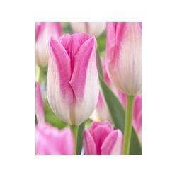 Tulipan mieszaniec Hatsuzakura 10 szt. hit