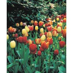 Tulipan mieszaniec Mixture 10 szt. hit