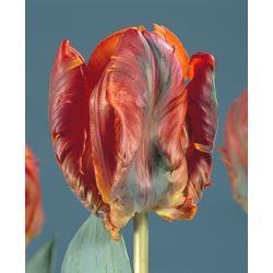 Tulipan papuzi Blumex 10 szt. hit