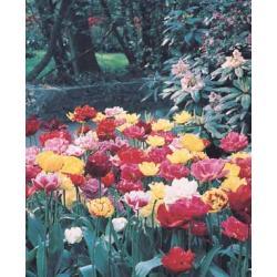 Tulipan pełny późny Mixture 10 szt.