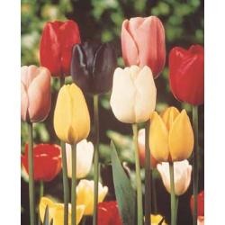 Tulipan pojedynczy późny Mixture 10 szt. hit