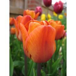 Tulipan Triumph Cairo 10 szt. hit