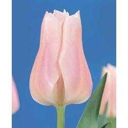 Tulipan Triumph Gabriella 10 szt. hit