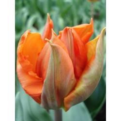Tulipan Triumph Hermitage 10 szt. hit