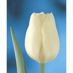 Tulipan Triumph Hibernia 10 szt. hit