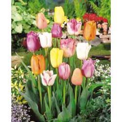 Tulipan Triumph Mixture 10 szt. hit