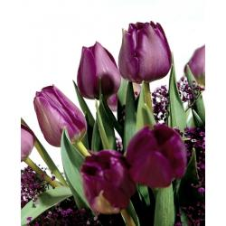 Tulipan Triumph Negrita 10 szt. hit