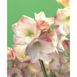 Amarylis Apple Blossom 1 szt. hit