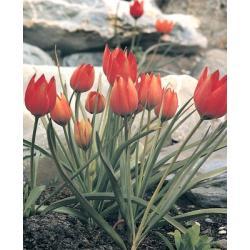 Tulipan botaniczny Hageri 10 szt. hit
