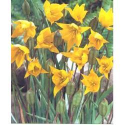 Tulipan botaniczny Sylvestris 10 szt. hit