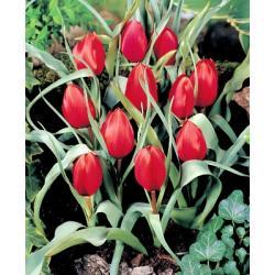 Tulipan botaniczny Wilsoniana 10 szt. hit