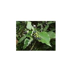 Cynamonowiec kamforowy 'Cinnamomumm camphora'
