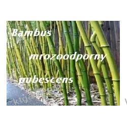 Bambus mrozoodporny Phyllostachys Pubescens