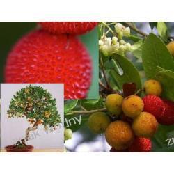 Drzewko truskawkowe 'Arbutus unedo'