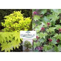 Klon shirasawy 'Acer shirasawanum'