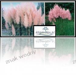 Trawa pampasowa różowa
