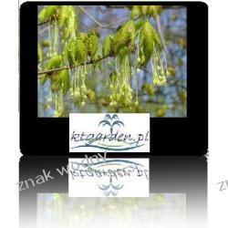 Klon cukrowy 'Acer saccharum'