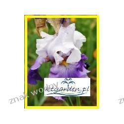 Irys bródkowy 'Violet'