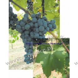 Sadzonka winorośli Cabernet Franc Winiarstwo