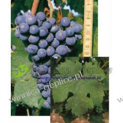 Sadzonka winorośli Carmenere Rośliny owocowe