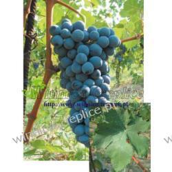 Sadzonka winorośli Barbera Rośliny owocowe