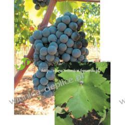 Sadzonka winorośli Primitivo Rośliny owocowe