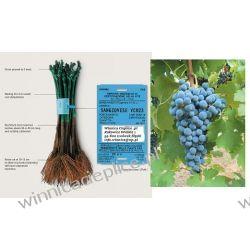 Sadzonka winorośli Cabarnet Savignon Rośliny owocowe