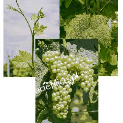 Sadzonka winorośli Kersus®
