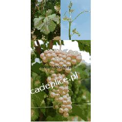 Sadzonka winorośli Soreli® Dom i Ogród