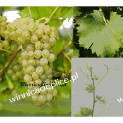 Sadzonka winorośli Sauvignon Nepis® Dom i Ogród
