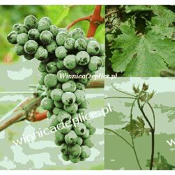 Sadzonka winorośli Merlot Kanthus®
