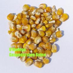 Kukurydza żólta na zanętę 2,00 zł/kg Karmy i smakołyki