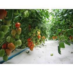Nasiona Pomidory