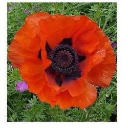 MAK WSCHODNI BEAUTY OF LIVERMERE PAPAVER