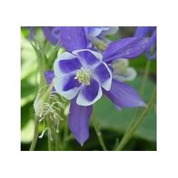 ORLIK SPRING MAGIC BLUE WHITE AQUILEGIA CAERULEA