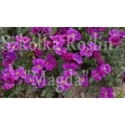 ŻAGWIN 'ROYAL RED' AUBRIETA DELTOIDEA