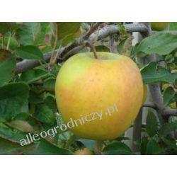 JABŁOŃ Golden delicious drzewka owocowe jabłko