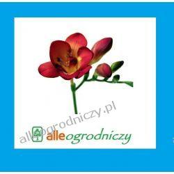 FREZJA pełna CZERWONA cebulki kwiatowe cebule