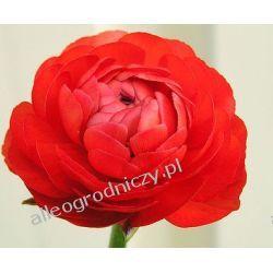 JASKIER ( RANUNCULUS ) CZERWONY peoniowy CEBULKI cebule kwiatowe