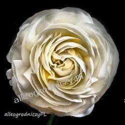 JASKIER ( RANUNCULUS ) BIAŁY peoniowy CEBULKI cebule kwiatowe