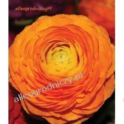 JASKIER ( RANUNCULUS ) POMARAŃCZOWY peoniowy CEBULKI cebule kwiatowe