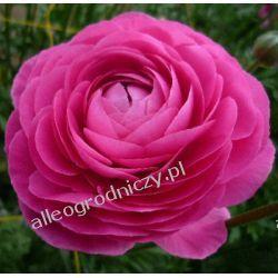 JASKIER ( RANUNCULUS ) RÓŻOWY peoniowy CEBULKI cebule kwiatowe